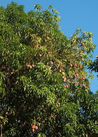 Mangobmid
